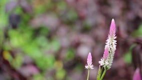 Pink grass flower in the garden stock video