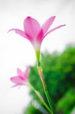 Pink grass flower Stock Image