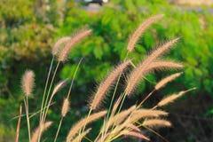 Pink grass Stock Photos