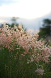 Pink grass  Gramineae. The pink grass Gramineae in nature Royalty Free Stock Photography