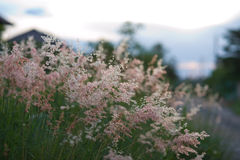 Pink grass  Gramineae. The pink grass Gramineae in nature Royalty Free Stock Image