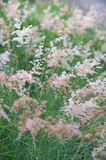 Pink grass  Gramineae. The pink grass  Gramineae in nature Royalty Free Stock Images