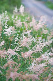 Pink grass  Gramineae. The pink grass Gramineae in nature Stock Images