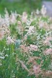 Pink grass  Gramineae. The pink grass  Gramineae in nature Stock Photo