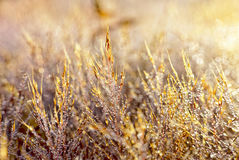 Pink grass shining with fog drops Stock Image
