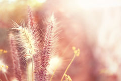 Pink grasses Royalty Free Stock Photography