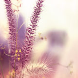 Pink grasses Royalty Free Stock Image
