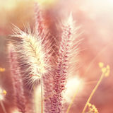 Pink grasses Royalty Free Stock Images