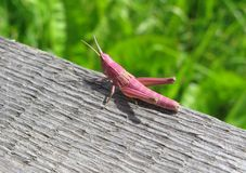 Pink grasshopper. On green background Stock Images