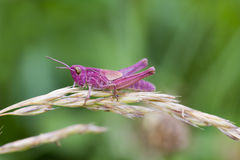 Pink Grasshopper. Perched on a grass stem closeup Stock Image