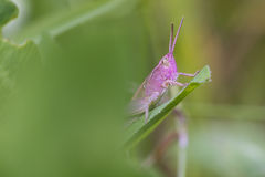 Pink Grasshopper. Perched on a leaf closeup Royalty Free Stock Photo