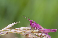 Pink Grasshopper. Perched on a grass stem closeup Stock Photography