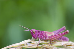 Pink Grasshopper. Perched on a grass stem closeup Stock Images