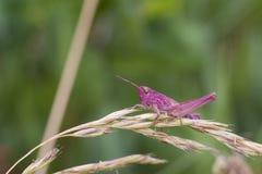 Pink Grasshopper Stock Image