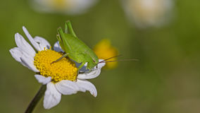 Pink Grasshopper on daisy. Green grasshopper is resting on daisy with green background Royalty Free Stock Photos