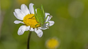 Pink Grasshopper on daisy. Green grasshopper is resting on daisy with green background Stock Images