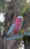 Pink and Gray Gala / Galah Parrot in Drouin Victoria Australia. AUS royalty free stock photography