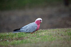 Pink and gray Galah Royalty Free Stock Images