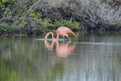 Pink greater flamingo in Galapagos islands Royalty Free Stock Image