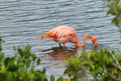 Pink greater flamingo in Galapagos islands Stock Images