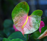 Pink green anthurium Flower Stock Photos