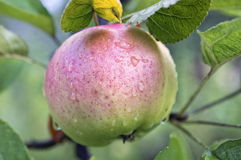 Pink - green apple with water droplets on apple tree. The apple tree (Malus domestica) is a deciduous tree in the rose family best known for its sweet, pomaceous stock photography