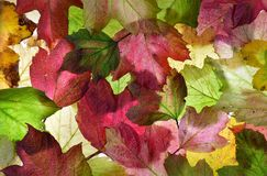 Pink and green autumn (fall) leaves background texture. Stock Image