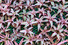 Pink and green bromeliad Royalty Free Stock Photos
