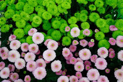 Pink and green  Chrysanthemum Royalty Free Stock Photo
