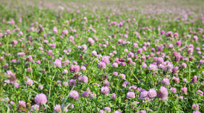 Pink and green clover meadow Stock Images