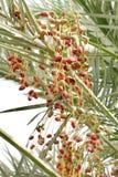 Pink and green kimri dates Royalty Free Stock Image