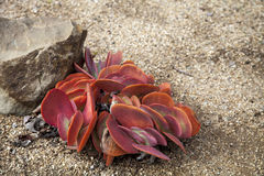 Pink and green paddle plant Kalanchoe luciae succulent. Grows in a desert garden stock images