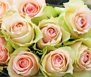 Pink and green roses closeup royalty free stock image