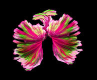 Pink and green siamese fighting fish, betta fish isolated on black background.