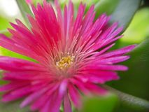 Pink and green sunbeam flower with macro lens Stock Image