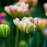 Spring flowers. Pink and green tulip flower. Spring background. Shallow depth of field. Soft focus Stock Images