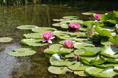 Pink and greenness. Water lilies Royalty Free Stock Image