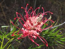 Pink Grevillea Royalty Free Stock Image