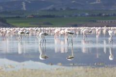 Pink and grey flamingos at the salt lake of Larnaca, Cyprus Royalty Free Stock Photo