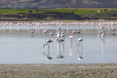 Pink and grey flamingos at the salt lake of Larnaca, Cyprus Royalty Free Stock Images