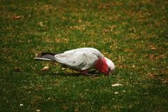 Pink and Grey Galah Stock Photos