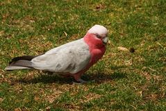Pink and Grey Galah Stock Images