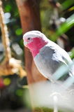 Pink and grey galah Stock Photography
