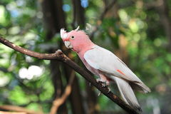 Pink and grey galah Royalty Free Stock Image