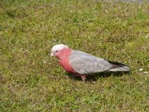 A pink and grey Galah on the green grass Royalty Free Stock Photography