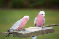 Pink and grey galah Royalty Free Stock Photos