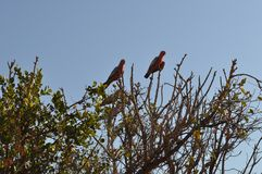 Pink and grey galahs birds in tree Royalty Free Stock Photography