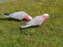 Pink and grey Galahs on the green grass Stock Photo