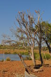 Pink and grey Galahs in tree in desert with water oasis Stock Photos