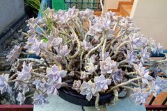 Pink Grey Succulent Flowers in Pot Stock Images